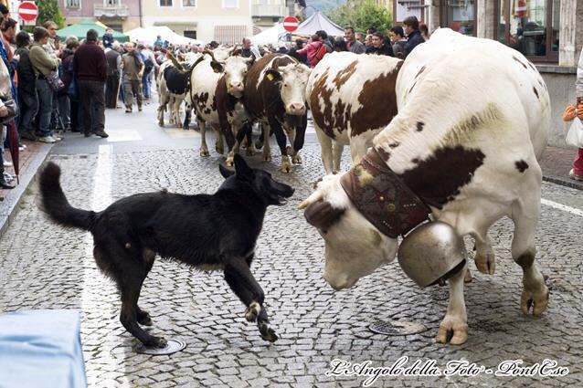transumanza mucche2 phLucaFassio