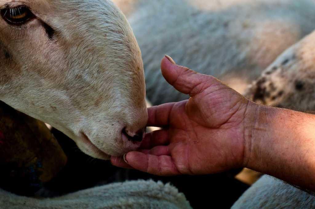 transumanza pecore3 Res