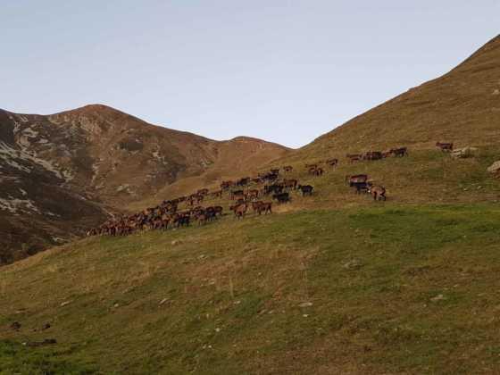 capre Alpe Sellery Coazze 1 Res