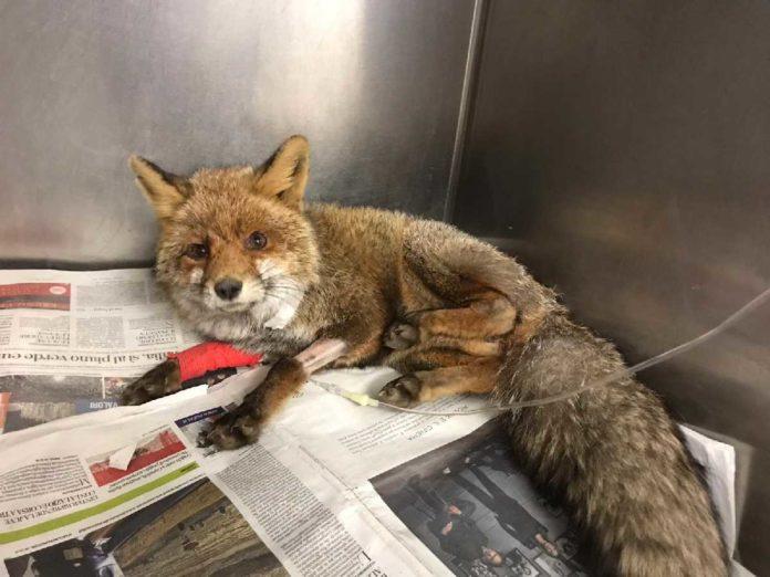 cuorgne trovata volpe ferita